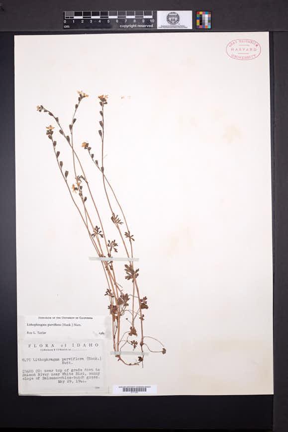 Lithophragma parviflorum image