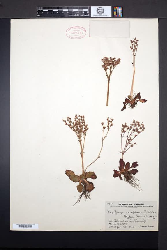 Image of Micranthes eriophora