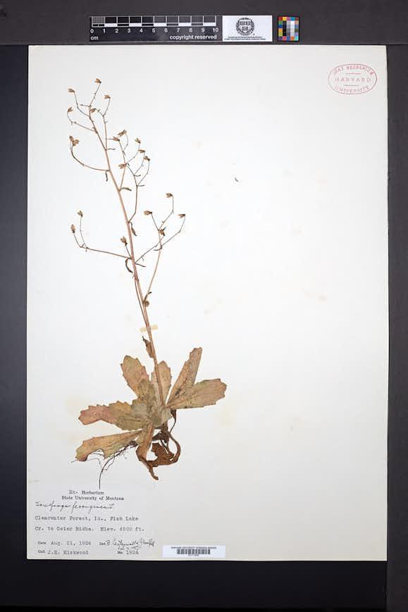 Micranthes ferruginea image
