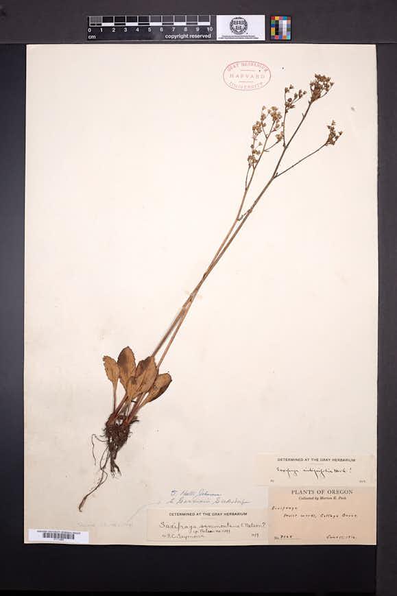 Image of Micranthes gormanii
