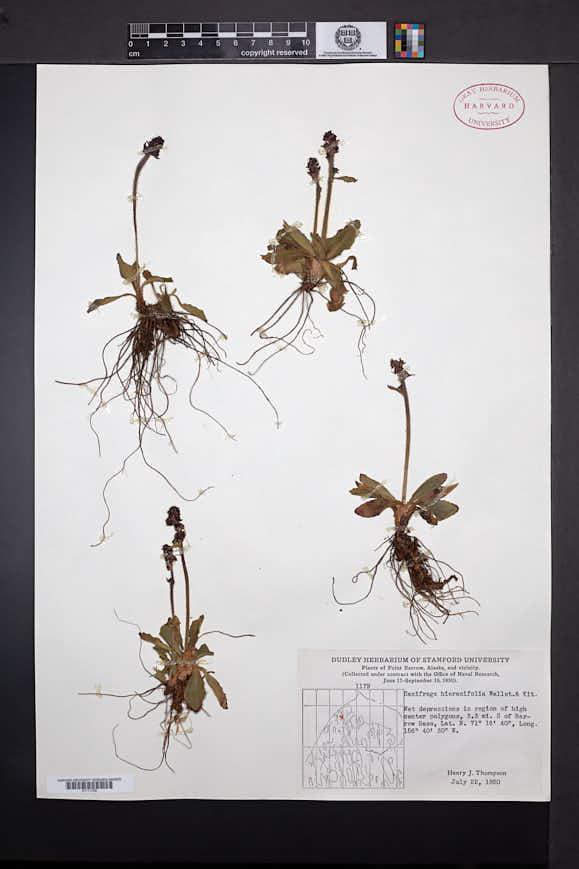 Saxifraga hieraciifolia image