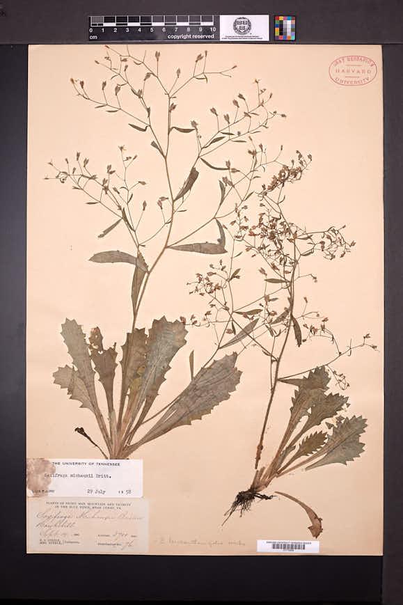 Micranthes petiolaris image