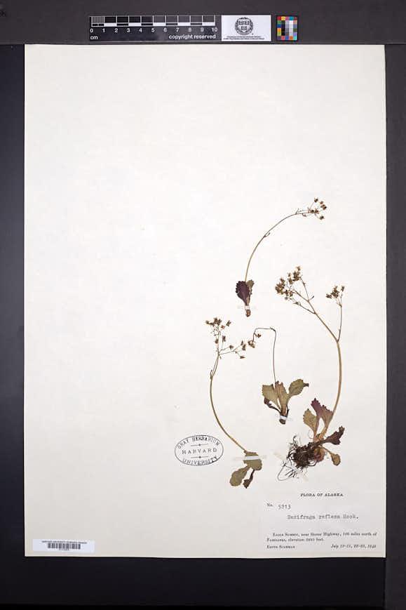 Micranthes reflexa image