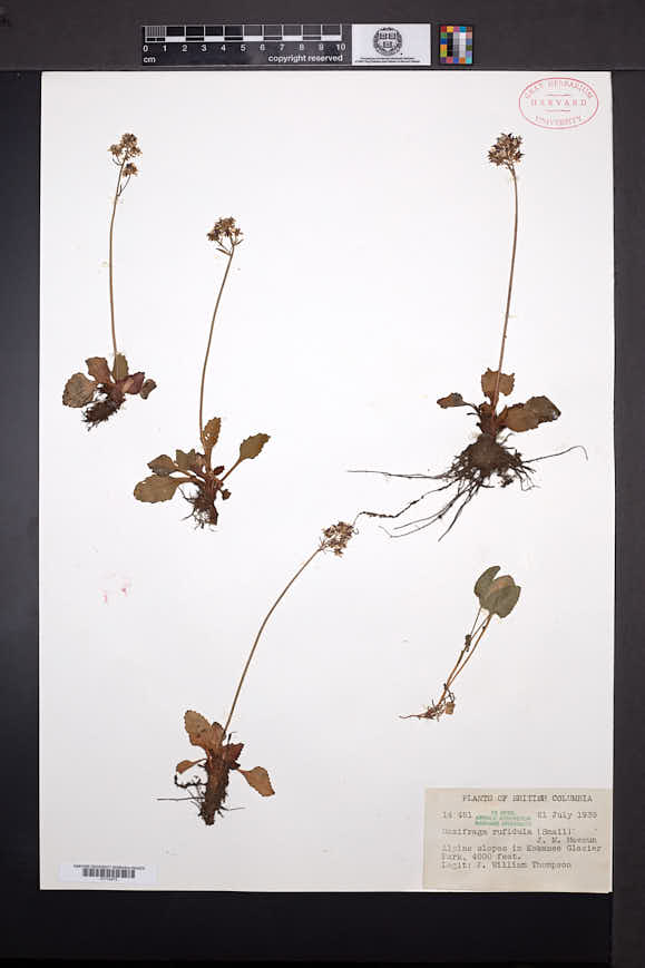 Image of Micranthes rufidula