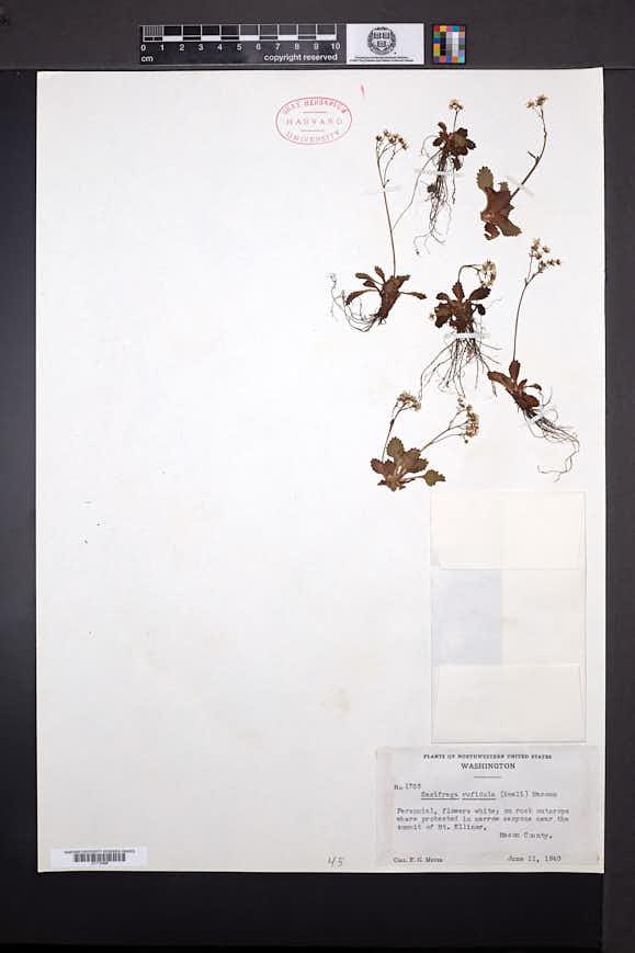 Micranthes rufidula image