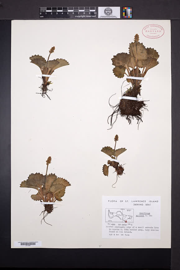 Image of Micranthes spicata
