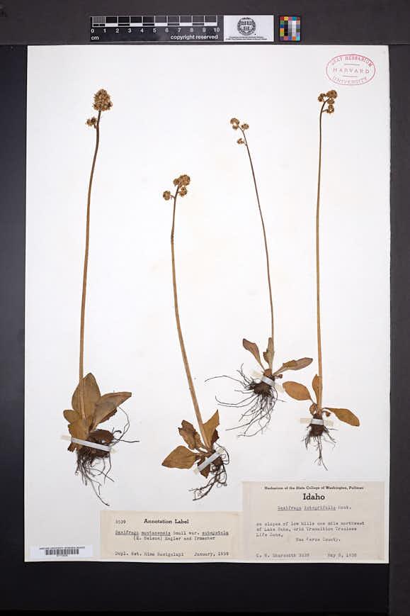 Micranthes subapetala image