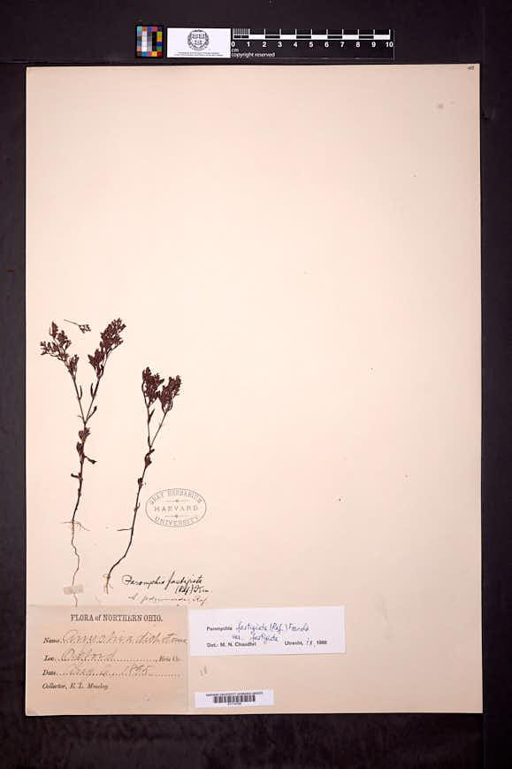 Paronychia fastigiata image