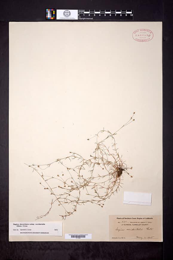 Sagina decumbens subsp. occidentalis image