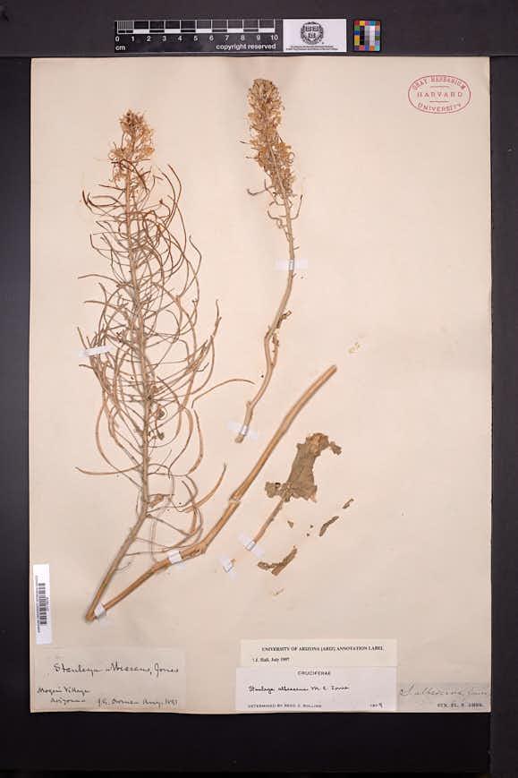 Stanleya albescens image