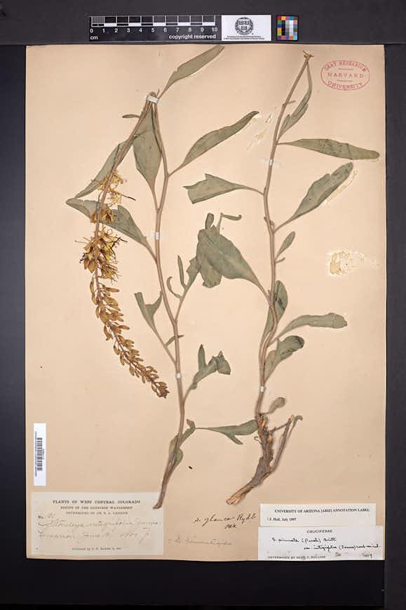 Stanleya pinnata var. integrifolia image