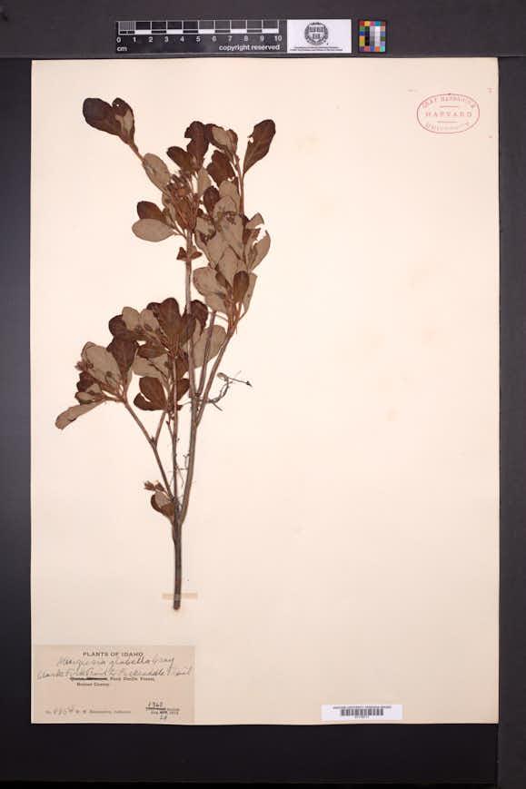 Menziesia glabella image