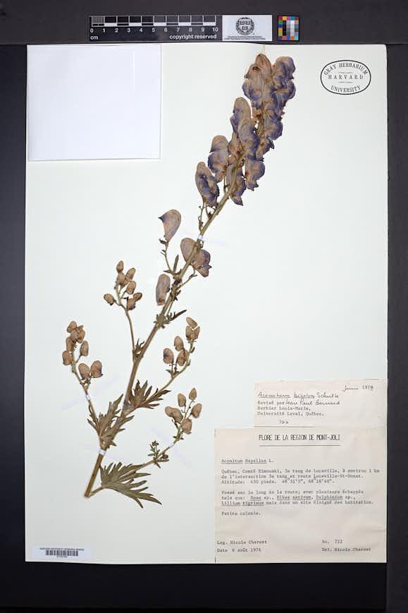 Image of Aconitum bicolor