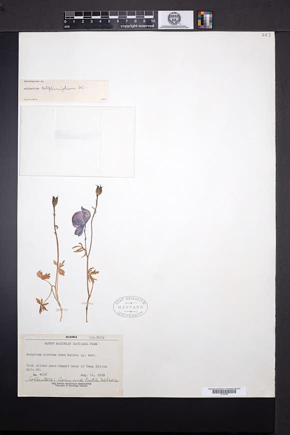 Image of Aconitum nivatum