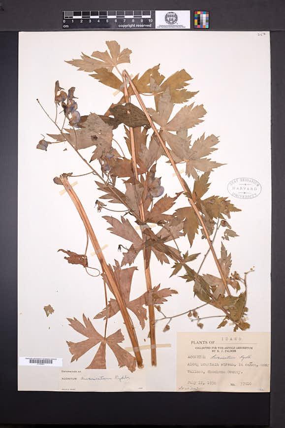 Image of Aconitum divaricatum