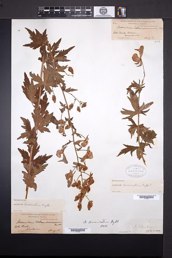 Aconitum divaricatum image