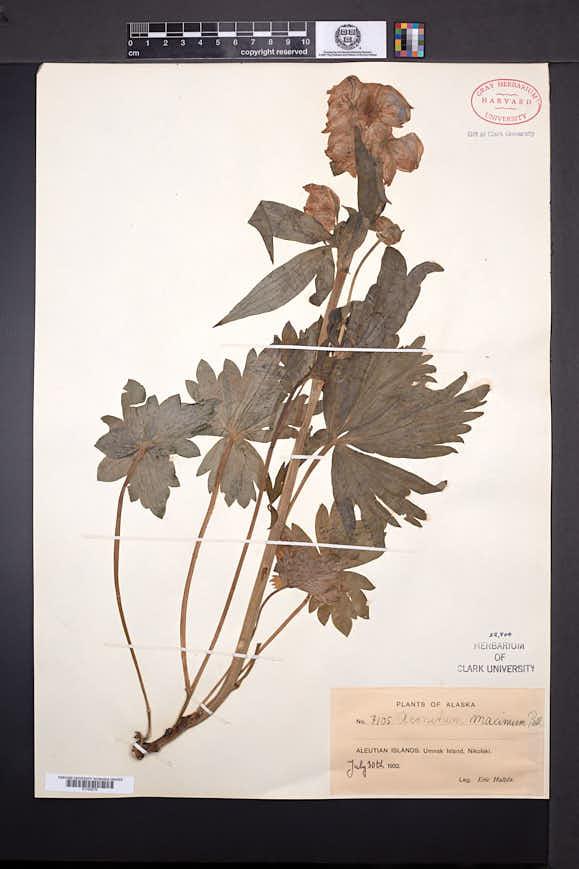 Aconitum maximum image