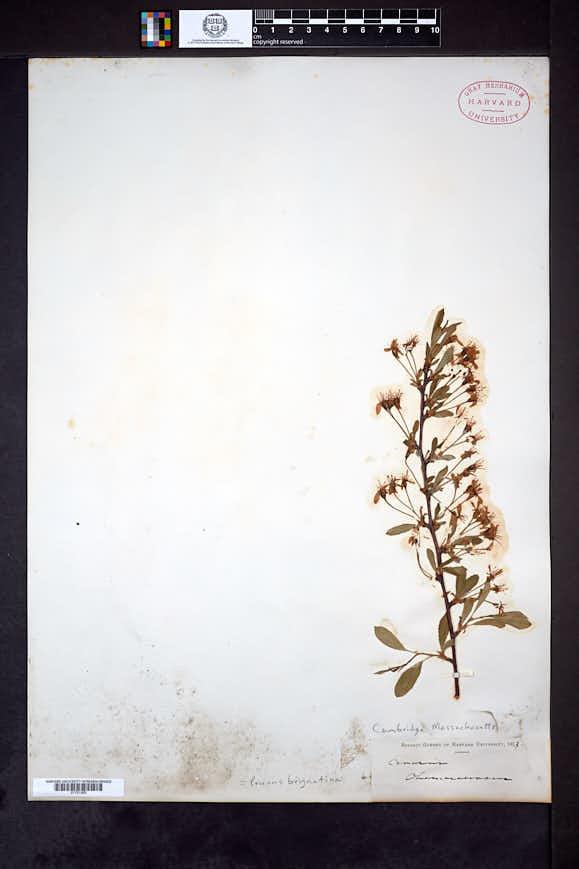 Image of Prunus brigantina