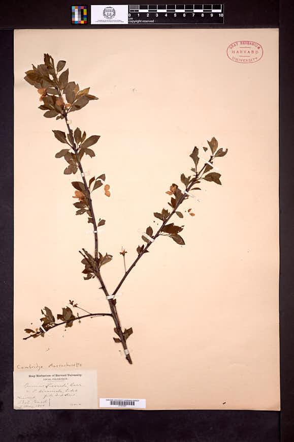 Prunus cerasifera image