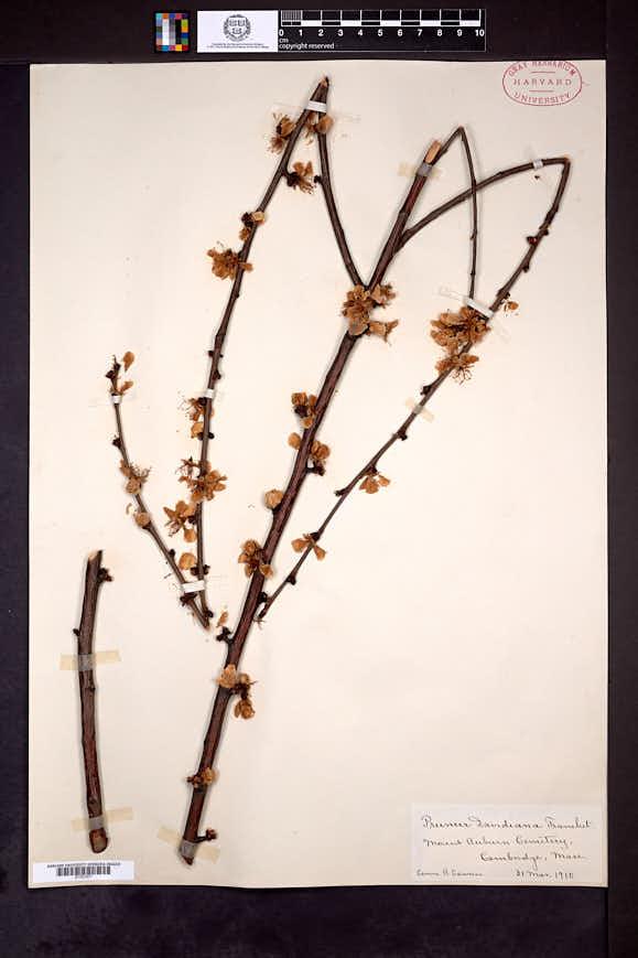Prunus davidiana image