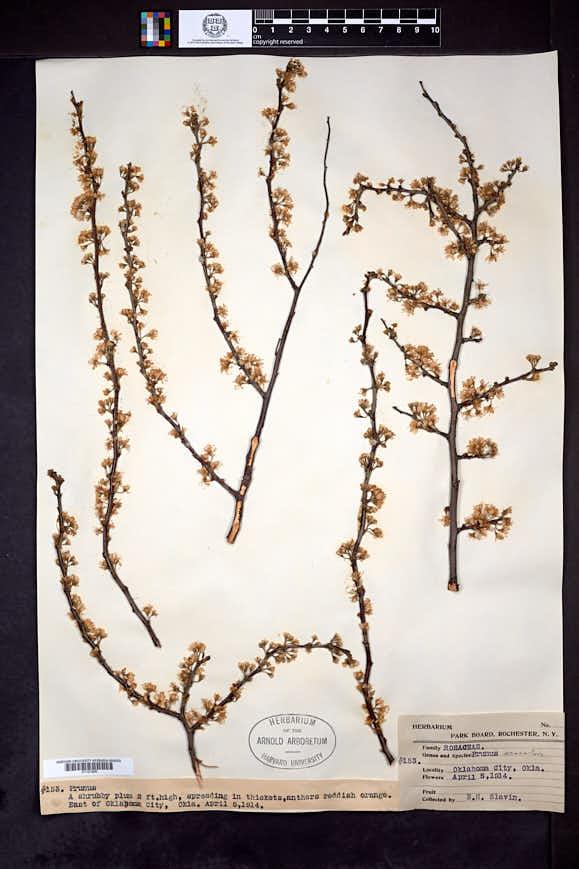 Prunus gracilis image