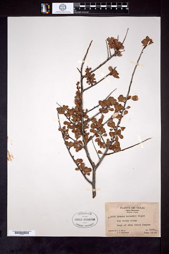 Prunus havardii image