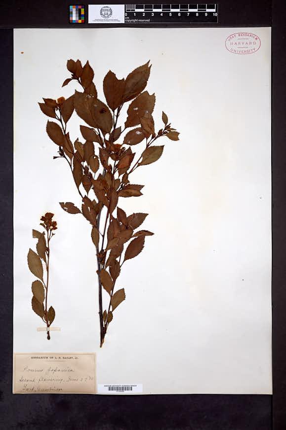 Prunus japonica image
