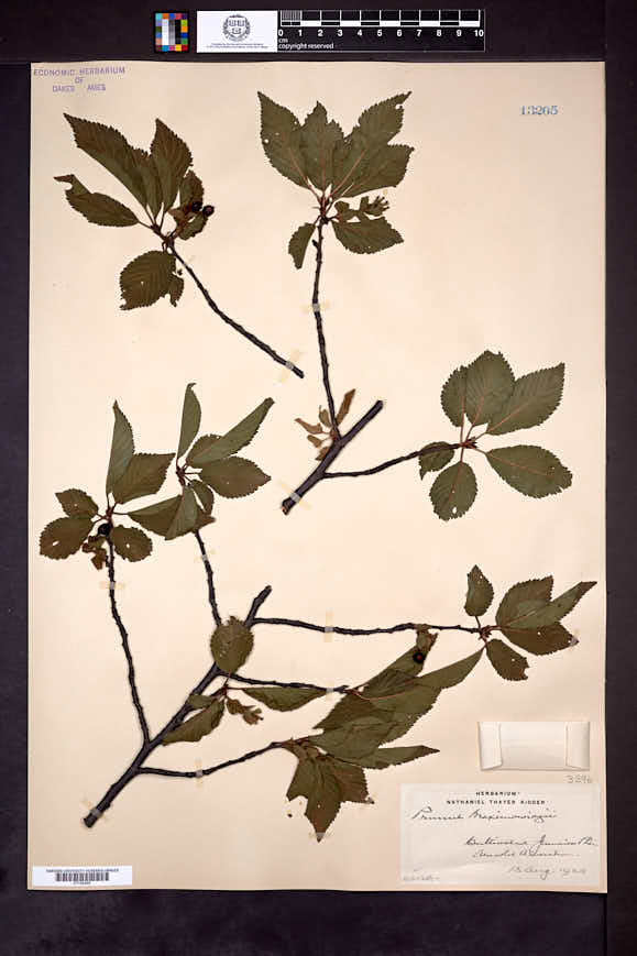 Prunus maximowiczii image