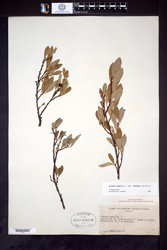 Prunus pumila var. besseyi image