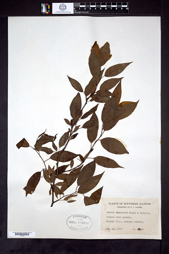 Prunus rivularis image