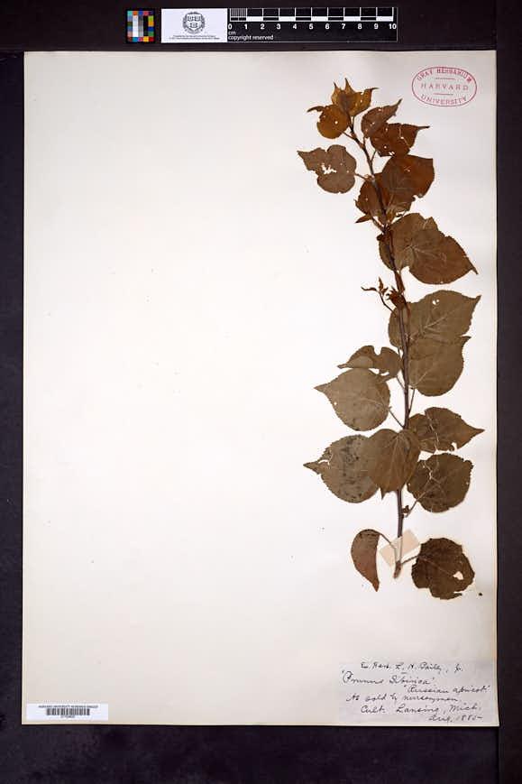 Image of Prunus sibirica