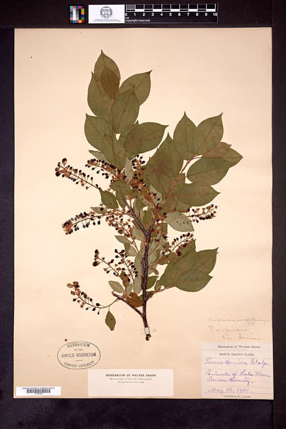 Prunus virginiana var. demissa image