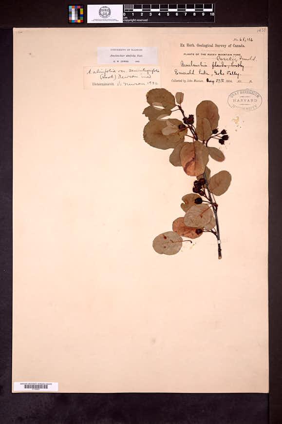 Amelanchier alnifolia image