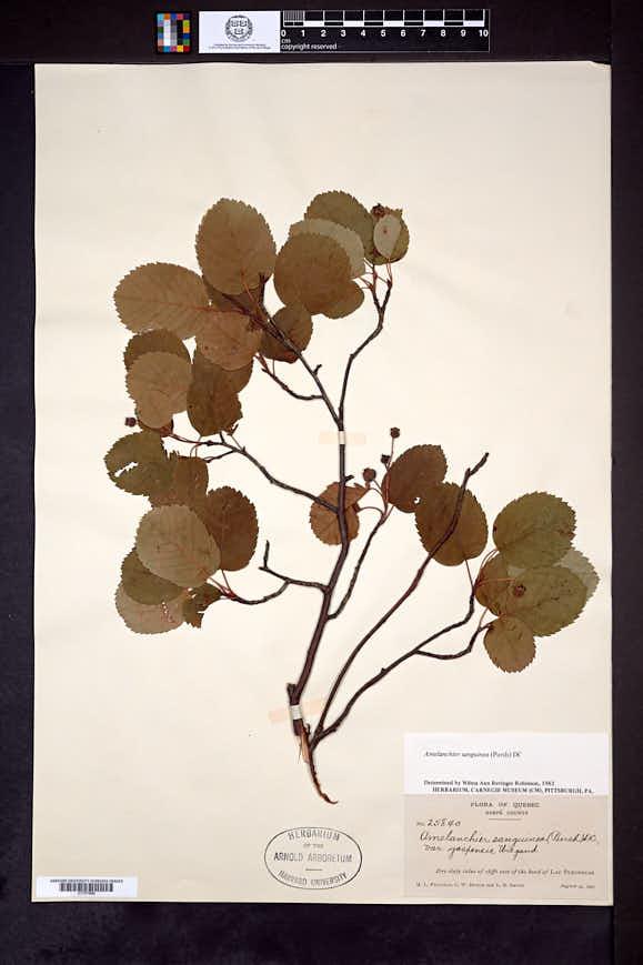 Image of Amelanchier gaspensis