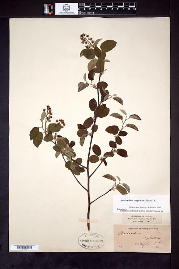 Amelanchier sanguinea image