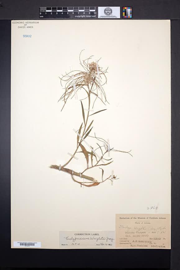 Thelypodium wrightii image