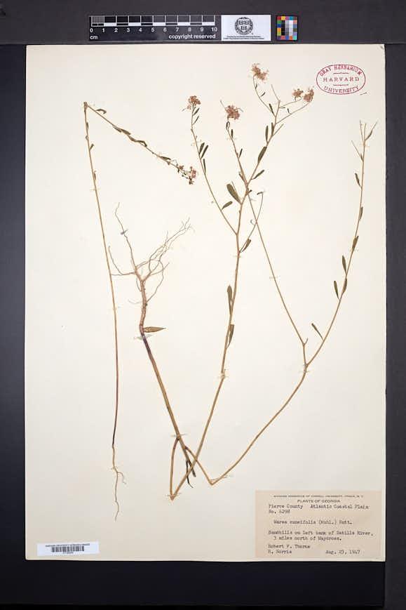 Warea cuneifolia image