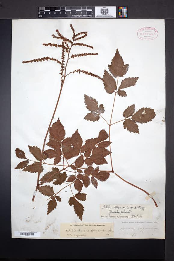 Image of Astilbe grandis