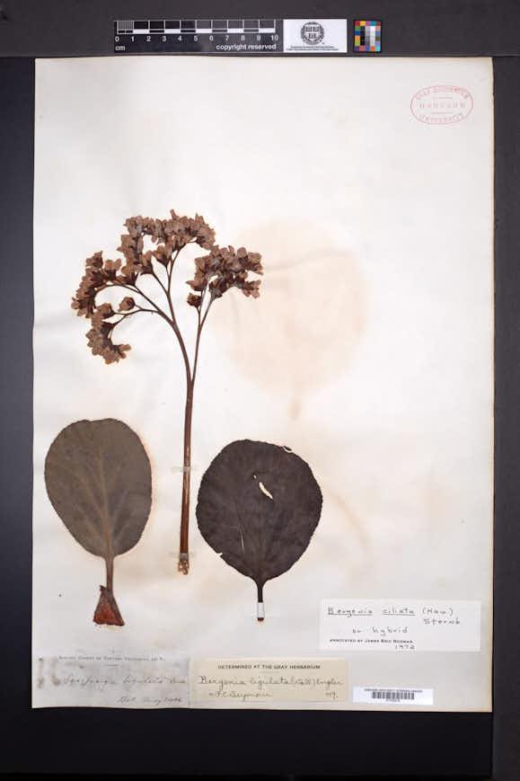 Image of Bergenia ciliata