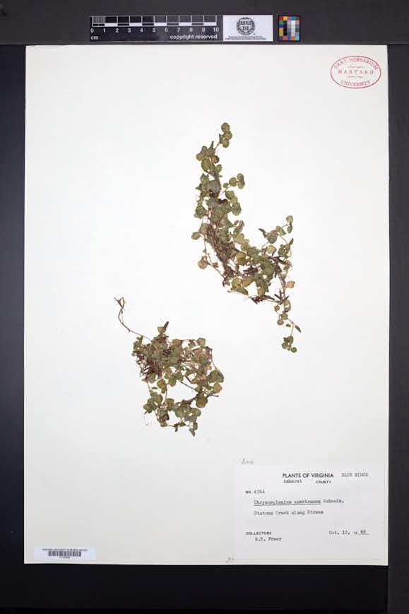 Chrysosplenium americanum image