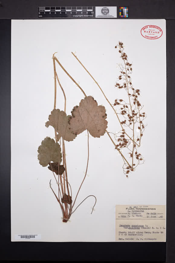 Image of Heuchera calycosa