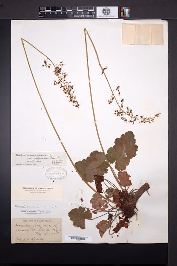 Heuchera calycosa image