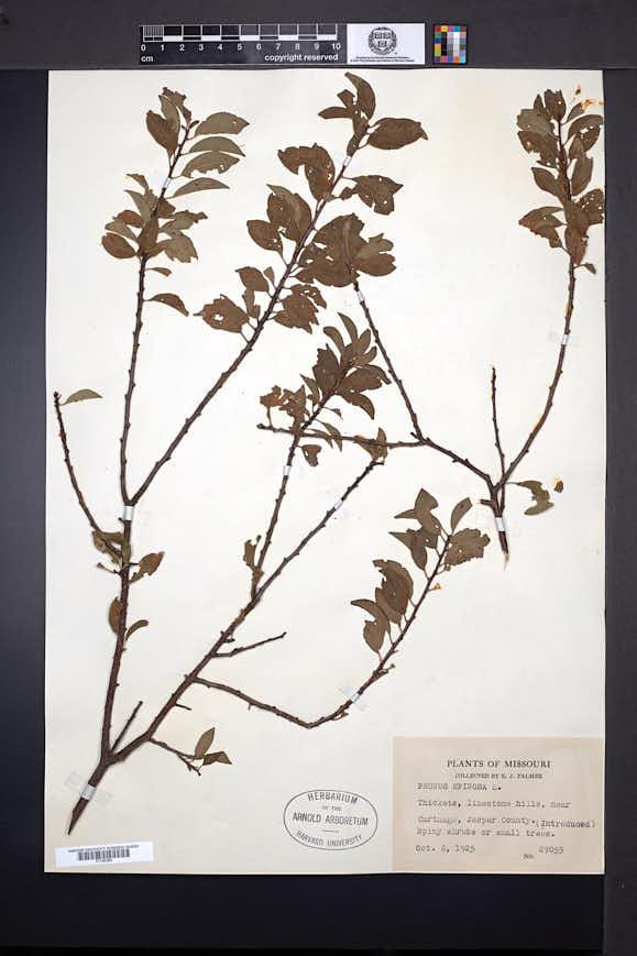 Prunus spinosa image