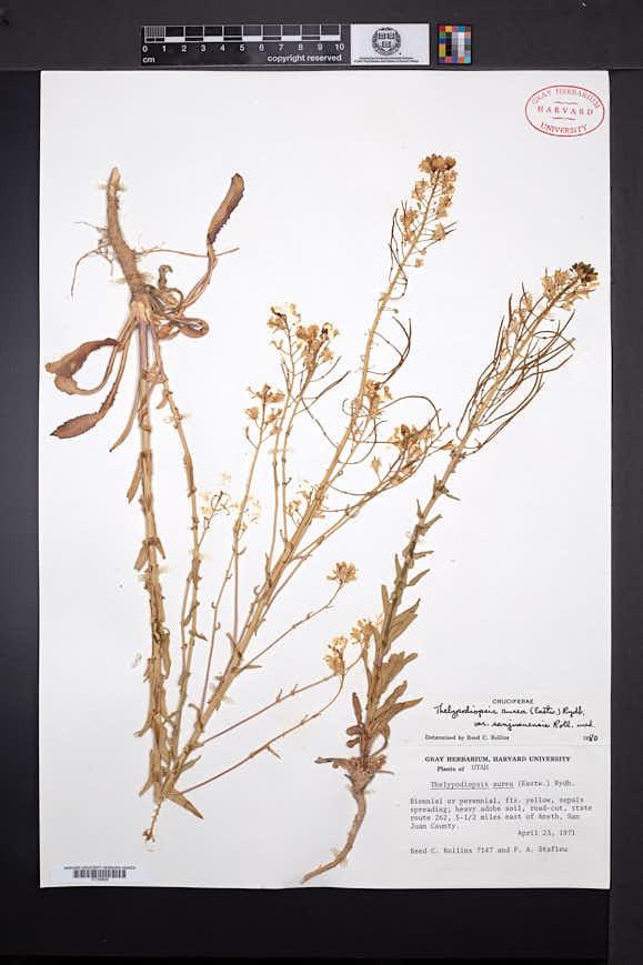Thelypodiopsis aurea image