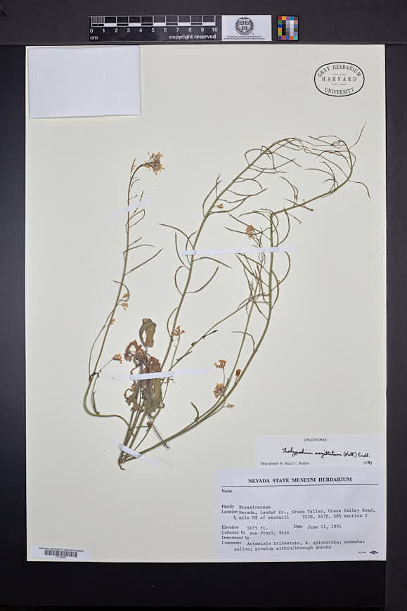 Image of Thelypodiopsis sagittata