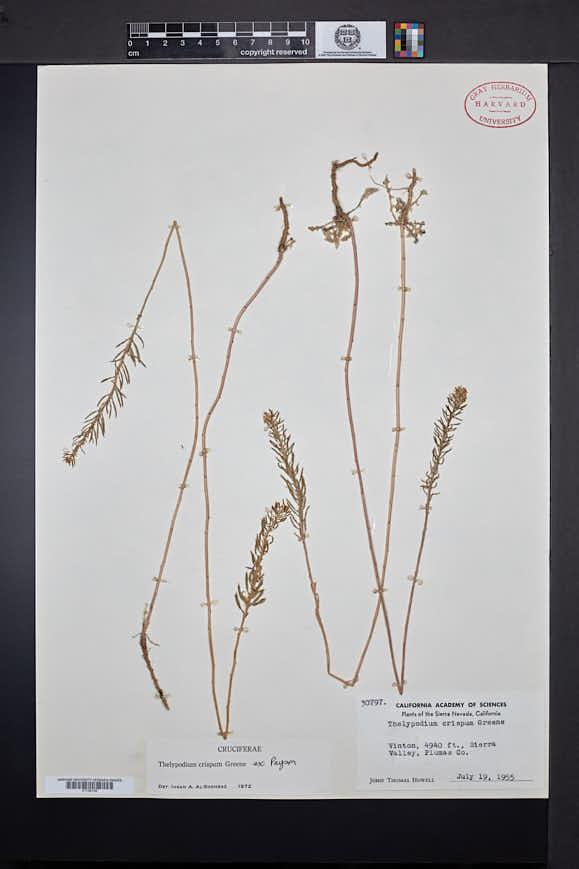 Thelypodium crispum image