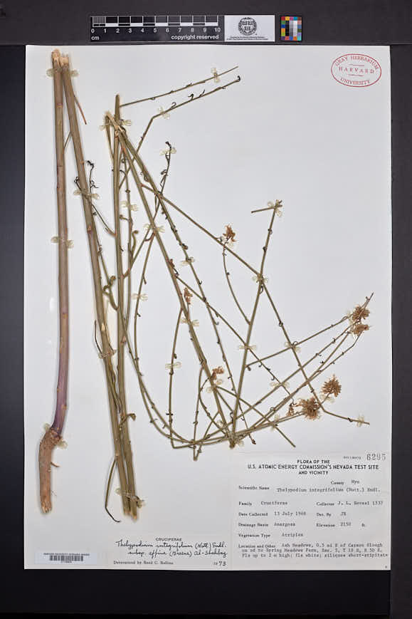 Thelypodium integrifolium image