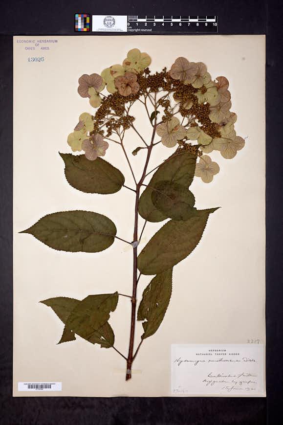 Hydrangea heteromalla image