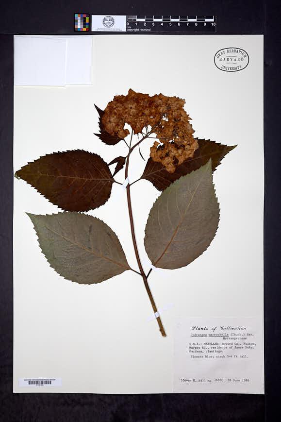 Hydrangea macrophylla image