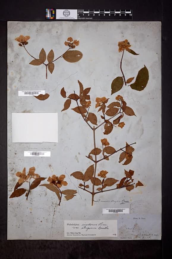 Philadelphus inodorus var. strigosus image
